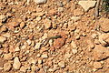 Malta - Ghajnsielem - Comino - Podarcis filfolensis 01 ies.jpg