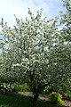 Malus floribunda kz08.jpg