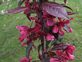 Malus x purpurea Royalty a1.jpg