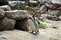 Manchot de Humboldt (Zoo Amiens)1.JPG