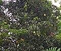 Mangif foetid 071228-2953 khjo.jpg