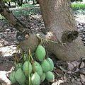 Mango tree of pakistan,.jpg