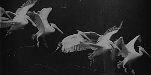 Étienne-Jules Marey - Flying pelican captured by Marey around 1882. He found a way to record several phases of movements in one photo