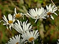 Margarita (Leucanthemum maximum) (15482492046).jpg