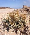 Masada - plant.jpg