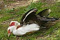 Mating muscovy ducks Saclas n01.jpg
