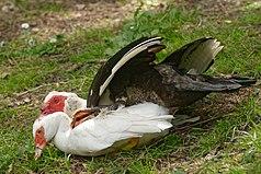 Mating muscovy ducks Saclas n01.jpg