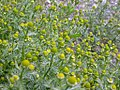 Matricaria matricarioides flowering heads (3621884101).jpg