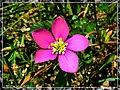 Meadow Pink - Flickr - pinemikey.jpg