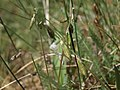Meadow loco, Oxytropis deflexa var. sericea (38486060950).jpg