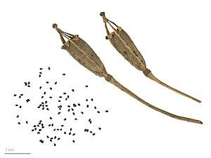 Meconopsis cambrica - Meconopsis cambrica - MHNT