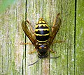 Median Wasp Dolichovespula media worker (29220339747).jpg