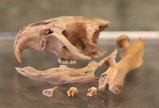 <i>Megaoryzomys</i> genus of mammals