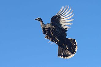 Wild turkey - Wild turkey in flight
