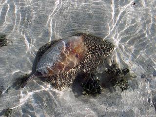 <i>Melo umbilicatus</i> species of mollusc