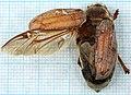 Melolontha hippocastani-v.jpg