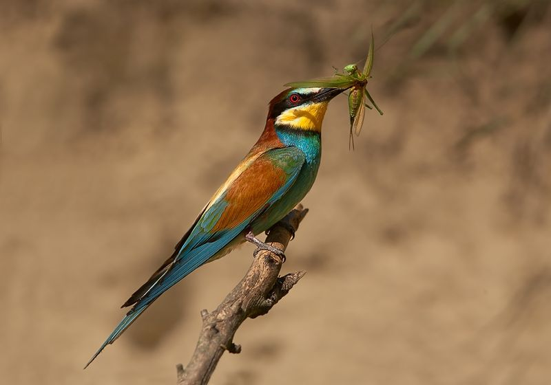 File:Merops apiaster 1 (Martin Mecnarowski).jpg