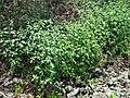Mexican fireplant (Euphorbia heterophylla) habit.jpg