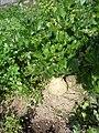 Miřík celer (Apium graveolens) - před sklizní.jpg