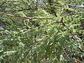 Mimosa (6541137407).jpg