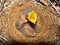 Mimus polyglottos three days old 03.jpg