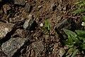 Moehringia macrophylla 7959.JPG