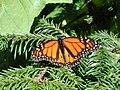 Monarch - Jeff Kramer, Austin,Texas.jpg