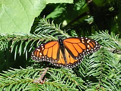 Monarch - Jeff Kramer, Austin,Texas.jpg