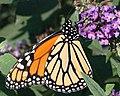 Monarch Butterfly (255567940).jpg