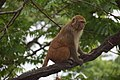 Monkey (Simian).jpg