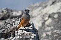 Monticola explorator -Cape Town, Western Cape, South Africa -male-8.jpg