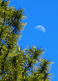Moon and Pines (7065016203).jpg