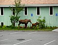 Moose and calf in Anchorage, Alaska.jpg