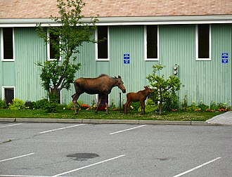 Anchorage, Alaska - Moose and calf outside of a church in Anchorage
