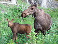 Moose mother with calf.jpg