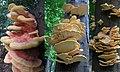 More and more beauty this Laetiporus sulphureus (Chicken of the Woods or Sulphur shelf, D= Schwefelporling, F= Polypore soufré, NL= Zwavelzwam) white spores and causes brown rot, at Deelenseweg Schaarsbergen. - panoramio.jpg