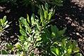 Morella pensylvanica 1zz.jpg