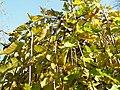 Morus nigra (7).jpg