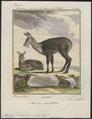 Moschus moschiferus - 1700-1880 - Print - Iconographia Zoologica - Special Collections University of Amsterdam - UBA01 IZ21500206.tif