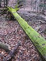 Mossy tree in the Ardagh Bluffs - panoramio.jpg