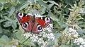 Motyl rusałka pawik Rudawski Park Krajobrazowy AL01.jpg