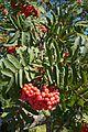 Mountain Ash berries (22976618584).jpg