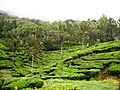 Munnar Hill Station, Tea Plantation - panoramio (5).jpg