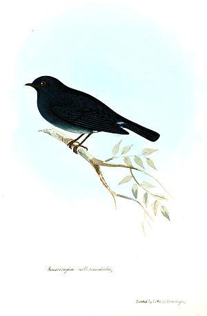 Nilgiri flycatcher - An old illustration (1847)