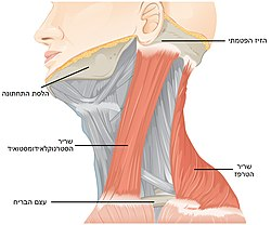 Muscles Controlled by the Accessory Nerve - Hebrew.jpg