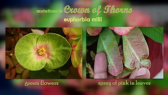 Euphorbia milii - Mutation in Crown of thorns
