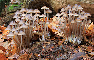 Mycena inclinata mushrooms