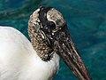 Mycteria americana -SeaWorld Orlando, Florida, USA-8 (1).jpg