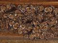 Myotis myotis, nursery roost.jpg