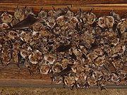 Colony of Mouse-eared Bats, Myotis myotis